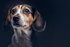 Portrait of a cute breed dog on a dark background in studio. Royalty Free Stock Photo