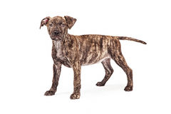 Cute Brindle Coat Puppy Standing Royalty Free Stock Photography