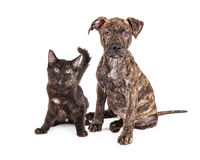 Cute Brindle Puppy and Kitten Royalty Free Stock Images