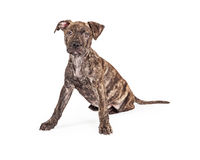 Cute Brindle Puppy Legs Wide Stock Photos