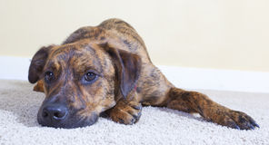 A cute brindled puppy lying on the floor Stock Photography