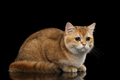 Cute British Cat Gold Chinchilla Lying, Sadly Looks, Isolated Black Royalty Free Stock Photo