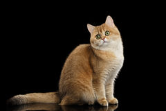 Cute British Cat Gold Chinchilla Sitting, Curious Looks Isolated Black Background Stock Photo
