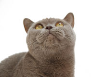 Cute british cat isolated on white. Background royalty free stock photo