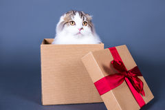Cute british cat sitting in gift box over grey Royalty Free Stock Photo
