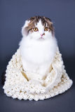 Cute british cat in woolen scarf sitting over grey stock images