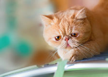 Cute British CPA cat scratching Royalty Free Stock Photography