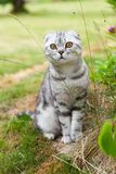 Cute British fold cat, gray whith stripes, with orange eyes, sitting in yard. Concept rare pets. Close-up royalty free stock image