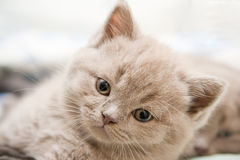 Cute British Kitten Stock Photography