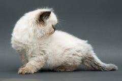 Cute british kitten Royalty Free Stock Photography