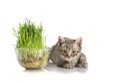 Cute British kitten eats grass on the white Royalty Free Stock Images