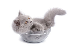 Cute british kitten in glass bowl isolated Stock Image