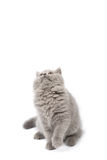 Cute British kitten looking up isolated Royalty Free Stock Images