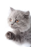 Cute british kitten looking up isolated Stock Images