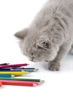 Cute british kitten playing with pencils isolated Royalty Free Stock Image