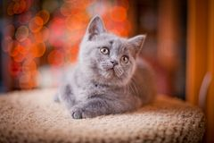 Cute British kitten posing. At home royalty free stock photo