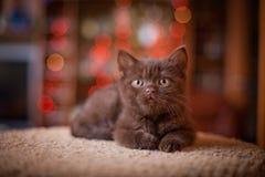 Cute British kitten posing. At home Stock Image