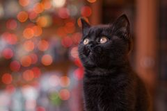 Cute British kitten posing Royalty Free Stock Photos