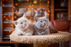 Cute British kitten posing Stock Photos