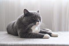 Cute British short hair cat. Shot indoors Royalty Free Stock Photo