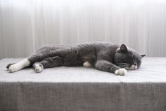 Cute British short hair cat. Shot indoors Royalty Free Stock Image