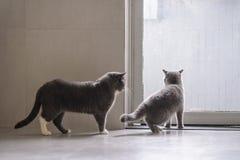 Cute British short hair cat. Shot indoors Stock Photo