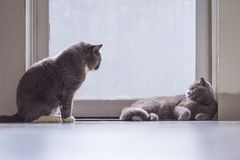 Cute British short hair cat. Shot indoors Stock Photography