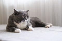 Cute British short hair cat. Shot indoors Royalty Free Stock Photography