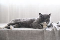 Cute British short hair cat. Shot indoors Royalty Free Stock Photos
