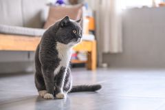 Cute British short hair cat. Shot indoors Stock Image