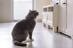 Cute British short hair cat. Shot indoors Stock Photos