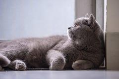 Cute British short hair cat. Shot indoors Stock Images