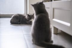 Cute British short hair cat. Shot indoors Royalty Free Stock Images