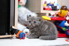 Cute British Shorthair baby Royalty Free Stock Photography