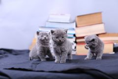 Cute kittens and books Royalty Free Stock Image