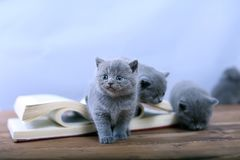 Cute kitten reading Royalty Free Stock Image
