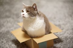 Cute british shorthair cat in small cardboard box looking curious sideways. Cute british shorthair cat in lilac white sitting in small cardboard box and looking royalty free stock photos