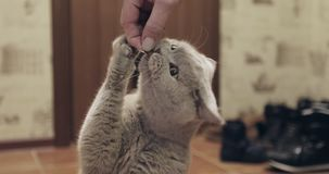 Cute British shorthair eats feed from a man`s hand. Handsome purebred gray cat stock video