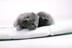 Cute British Shorthair kitten Stock Photos