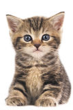 Cute british shorthair kitten isolated. On white Royalty Free Stock Image
