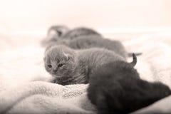 Cute British Shorthair kitten Stock Photography