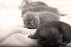 Cute British Shorthair kitten Stock Image