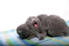 Cute British Shorthair kitten meowing. Beautiful little baby kitten sitting on a towel, newly born Stock Image