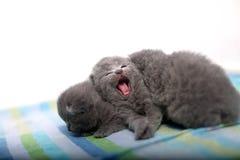 Cute British Shorthair kitten meowing Stock Image