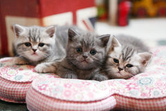 Cute British Shorthair kittens Stock Photography