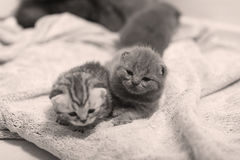 Cute British Shorthair kittens Stock Images