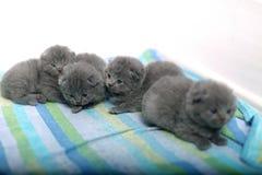 Cute British Shorthair kittens Stock Image
