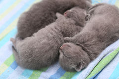 Cute British Shorthair kittens Stock Images