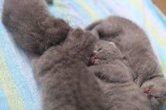 Cute British Shorthair kittens Royalty Free Stock Photos