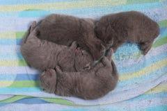 Cute British Shorthair kittens Royalty Free Stock Image